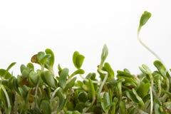 Germogli di erba medica su bianco Fotografia Stock Libera da Diritti