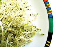 Germogli di fagiolo e dell'erba medica Fotografia Stock Libera da Diritti
