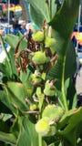 Germogli di fiore Immagini Stock