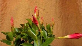 Germogli di fiore colorati di fioritura Chiuda su, macro archivi video