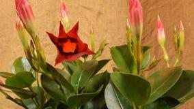 Germogli di fiore colorati di fioritura Chiuda su, macro video d archivio