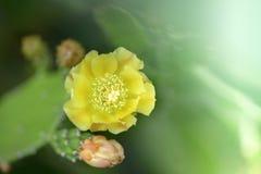 Germogli di fiore del cactus Fotografia Stock Libera da Diritti