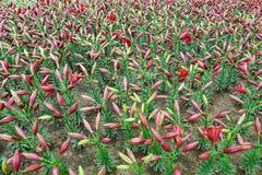 Germogli di fiore del giglio Fotografia Stock Libera da Diritti