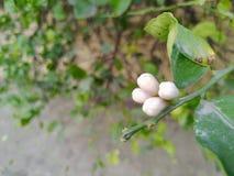 Germogli di fiore del limone fotografia stock