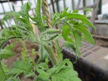 Germogli di fiore del pomodoro Fotografia Stock