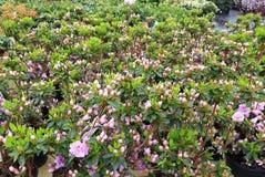 Germogli di fiore del rododendro fotografia stock libera da diritti