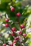 Germogli di fiore dell'ibisco Immagine Stock