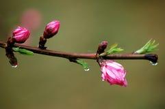 Germogli di fiore della pesca dopo pioggia fotografia stock libera da diritti