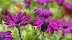 Germogli di fiore fertili viola in rugiada Immagine Stock Libera da Diritti