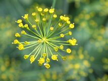 Germogli di fiore gialli Immagine Stock Libera da Diritti
