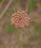 Germogli di fiore giovanili della carota selvatica Fotografia Stock