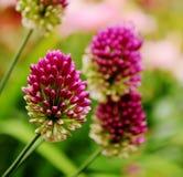 Germogli di fiore ornamentali Sphaerocephalon dell'allium Fotografia Stock Libera da Diritti