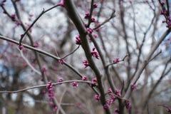 Germogli di fiore rosa dell'albero orientale del redbud Fotografia Stock Libera da Diritti