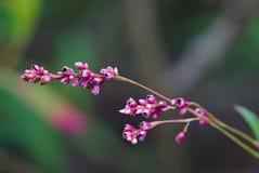 Germogli di fiore rosa sboccianti immagini stock