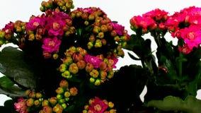 Germogli di fiore rossi di fioritura del tsmall stock footage
