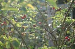 Germogli di fiore rossi in un campo dei gambi fotografia stock