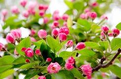 Germogli di fiori della sorgente Immagine Stock