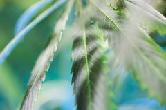 Germogli di fioritura della marijuana (cannabis), pianta della canapa fotografie stock