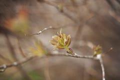 Germogli di foglia della primavera - nuova crescita Immagine Stock Libera da Diritti