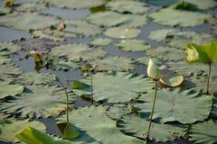 Germogli di Lotus Fotografia Stock