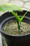 germogli di piante in vasi Fotografia Stock Libera da Diritti