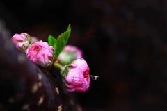 Germogli di rosa di colore rosa Immagine Stock