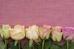 Germogli di rosa di colore rosa Fotografie Stock