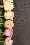 Germogli di rosa di colore rosa Immagini Stock