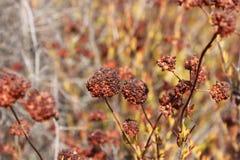 Germogli di rosso del grano saraceno Immagini Stock Libere da Diritti
