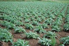 Germogli di verde dei carciofi che crescono sul campo Immagini Stock