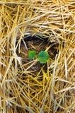 Germogli di verde del cetriolo che crescono dal suolo Fotografia Stock Libera da Diritti