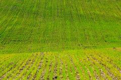 Germogli di verde di grano nel campo fotografia stock
