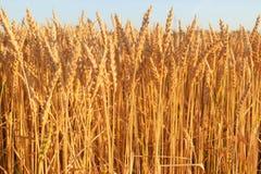 Germogli dorati, grano maturo Fotografia Stock