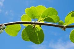Germogli e foglie del kiwi fotografie stock