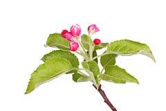 Germogli e foglie di Apple isolati contro bianco fotografie stock libere da diritti