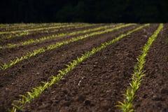 Germogli freschi in primavera Fotografia Stock