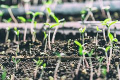 Germogli germogliati dal suolo Fotografia Stock
