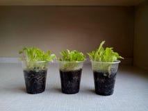 Germogli in insalata delle tazze con terra Fotografia Stock Libera da Diritti