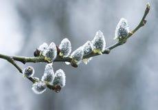 Germogli lanuginosi molli del salice dei rami coperti di bloomin delle gocce di pioggia Fotografia Stock