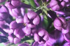 Germogli lilla fotografia stock