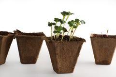 Germogli nei vasi con la terra, l'inizio di nuova vita immagini stock