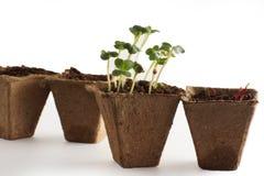 Germogli nel vaso con la terra, l'inizio di nuova vita Immagini Stock