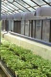 Germogli nella serra Fotografia Stock Libera da Diritti