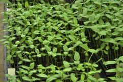 Germogli nella serra Fotografie Stock