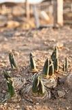 Germogli nella terra Fotografia Stock