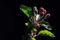 Germogli porpora della primavera dei fiori sul malus domestica di melo, prendenti il sole sul fondo scuro Fotografia Stock Libera da Diritti