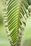 Germogli ricci della palma da sago giapponese Fotografia Stock Libera da Diritti