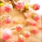 Germogli rosa artistici della primavera Fotografia Stock Libera da Diritti
