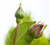 Germogli rosa d'apertura in un giardino Fotografie Stock Libere da Diritti