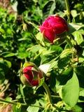 Germogli rosa rosa-rosso luminosi che iniziano appena a fiorire fotografia stock